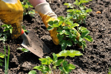 Planting-Strawberries-in-Garden
